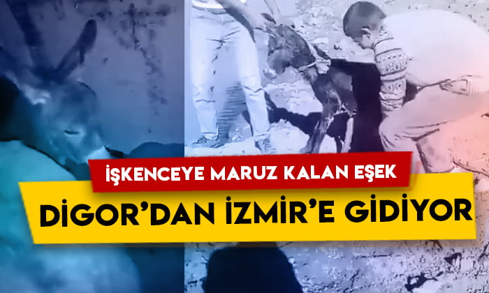 İşkenceye maruz kalan eşek Digor'dan İzmir'e gidiyor