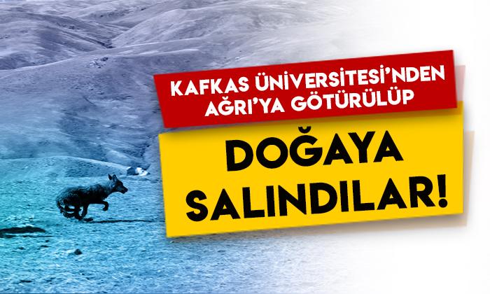 Kafkas Üniversitesi'nden Ağrı'ya götürülüp doğaya salındılar!